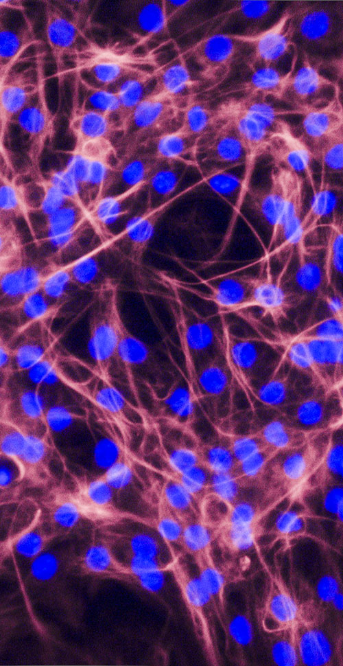 Image of Stem Cell